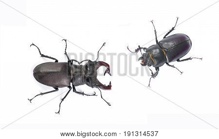 Male and female stag beetle. Close-up view isolated on white background. Hi resolution studio photography