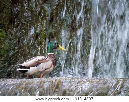 Male mallard duck Looking for food at the water in the waterfall