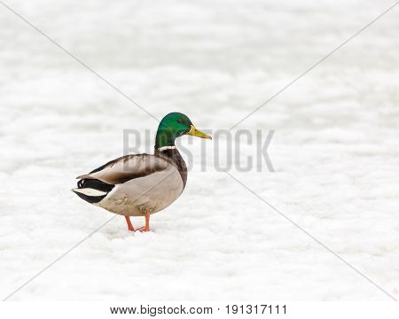 A Drake Mallard in the snow in the winter poster