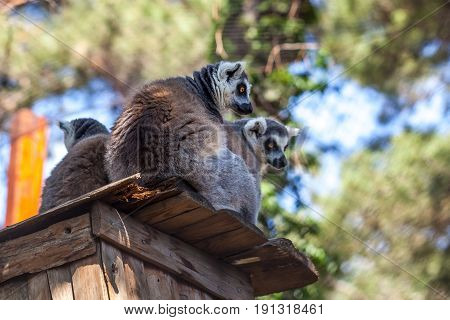 Ring-tailed Lemurs In The Tbilisi Zoo, The World Of Animals