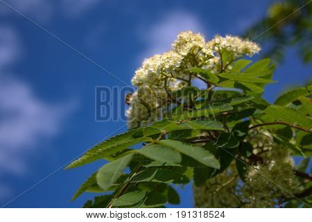 Flowers Of Mountain Ash. Flowers Of Mountain Ash Macro.