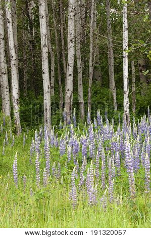 Lupine flowers and trees. A field of purple lupine flowers in front of a grove of trees in north Idaho.