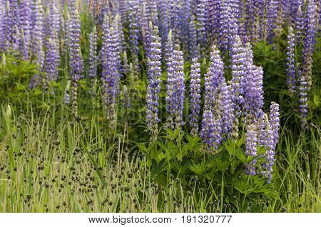 Close up of lupine flowers. A close up of a cluster of lupine flowers in north Idaho.