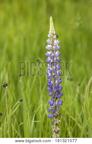 Closeup of a lupine flower. A close up of a pretty purple lupine flower in north Idaho.