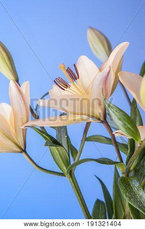 Lilies against a blue background. Close up of pretty yellow lilies set against a blue background.