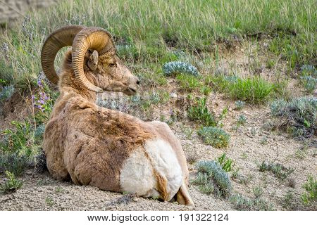 Big Horn Sheep At Badlands National Park