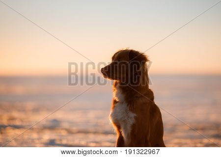 Dog Nova Scotia duck tolling Retriever sits on the ice