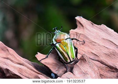 Derby's flower beetle aka Dicronorrhina derbyana on a piece of wood