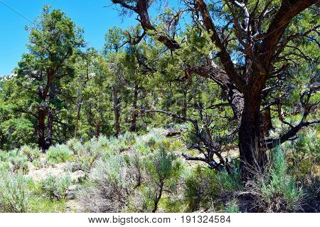 Sagebrush surrounding a Pine Forest taken at the Sierra Nevada Mountains in Kennedy Meadows, CA