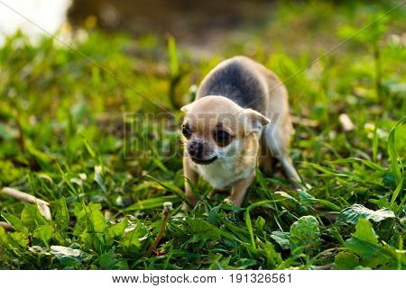 Little Scared Chihuahua Dog