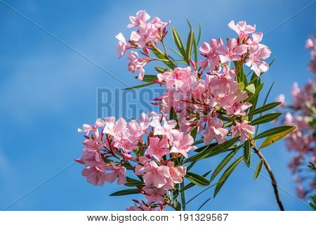 Beautiful Pink Nerium Oleander Flowers On Bright Summer Day