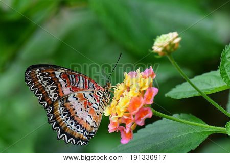 A red lacewing butterfly feeds on nectar in the butterfly gardens