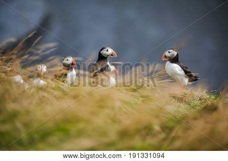 puffin on south of iceland. symbol of iceland