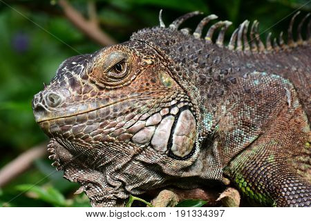 An iguana looks and smiles at the camera for its portrait