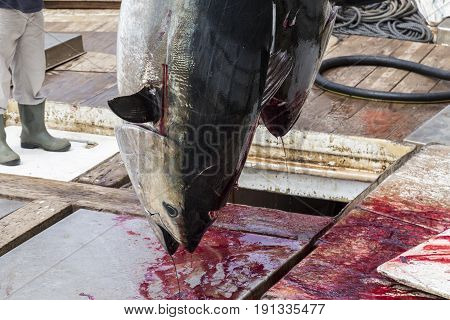 Atlantic Bluefin Tuna Caught By The Almadraba Maze Net System And Hanging At Harbor Pier.
