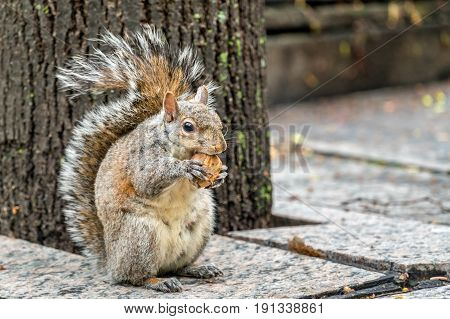 Eastern gray squirrel eats a walnut on Trinity Square in Toronto - Canada