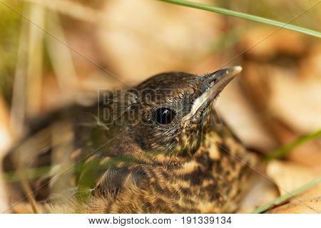 A young Blackbird (Turdus merula) after leaving the nest.