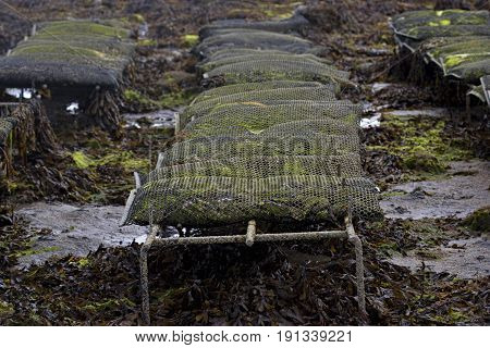 Oysters in metal bags on the oyster farm Ireland