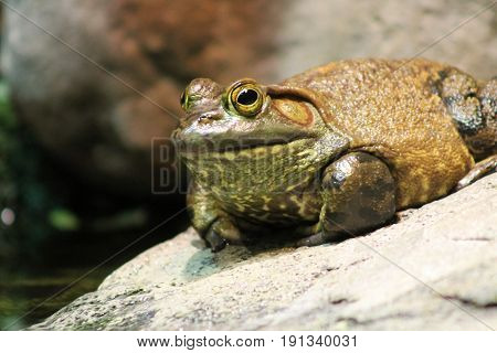 Photo of a bullfrog sitting on a rock.