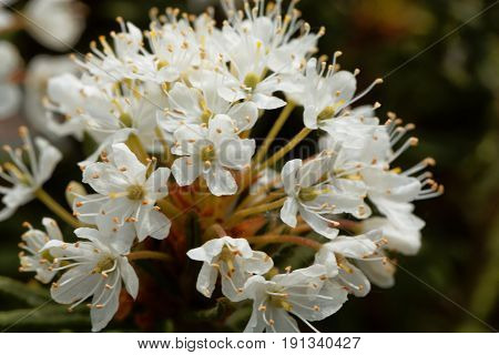 Flowers of marsh Labrador tea (Rhododendron tomentosum) The plant was used as medical herb and for brewing beer.