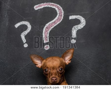 Closeup of mini pinscher puppy dog isolated over black chalkboard with drawn question marks