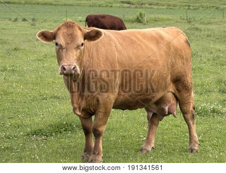A closeup view of a Hereford cow standing in a lush meadow.