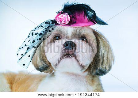 Shih tzu dog in pink hat on white background