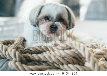 Cute shih tzu dog lying on bed and playing with big rope