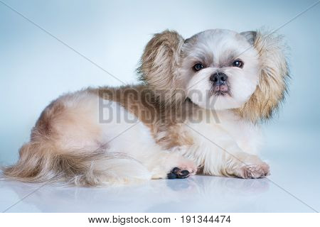 Cute shih tzu dog with fluffy ears portrait. On bright white and blue background.