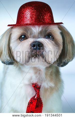 Cute shih tzu dog in red hat and tie portrait on white and blue background