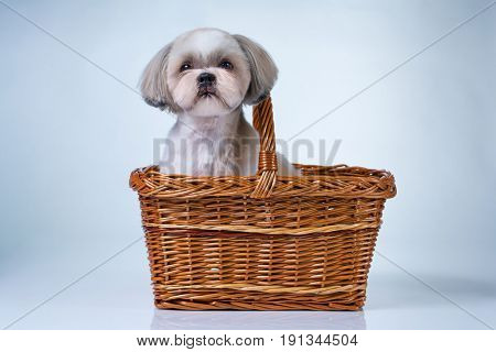 Cute shih tzu dog sitting in basket on white and blue background