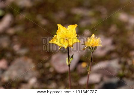 A flower of Alpine avens (Geum montanum)