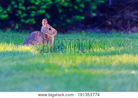Eastern cottontail rabbit (Sylvilagus floridanus) baby in Wisconsin during late spring