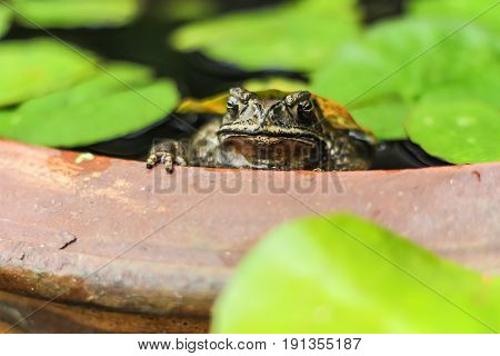 Toad floats in a pot with lotus leaves in the garden.