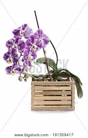 Bush of Phalaenopsis orchid in decorative box on white background