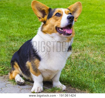 the Corgi dog sitting on the grass. Corgi dog. Pembroke Welsh Corg. Dog Welsh Corgi posing outdoors.