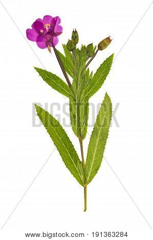 Pressed and dried delicate lilac flowers fireweed (epilobium collinum) on stem with green leaves. Isolated on white background. For use in scrapbooking floristry (oshibana) or herbarium.