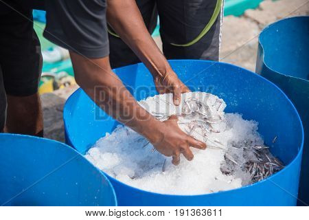 Fresh Anchovy Fish On Ice In Male,maldives