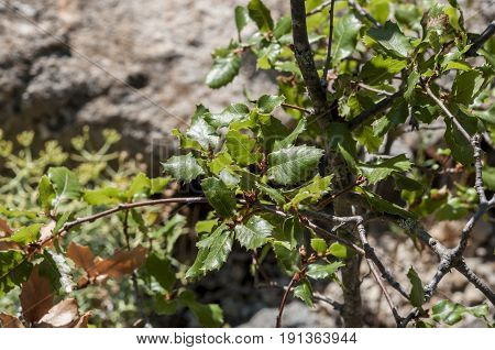 Close up of leaves and branches of Quercus alpestris