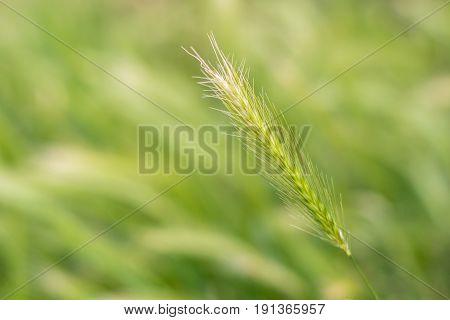 A Field Of Fresh Green Rye Outside