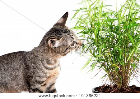 The young cat tiger pattern eating fresh green leaf of bamboo on white background copy space it always eat grass when feeling sick and leaves little like medicine and vitamin that good for cat