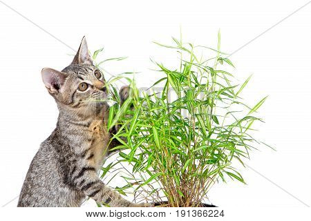 The young cat tiger pattern eating fresh green leaf of bamboo on white background it always eat grass when feeling sick and leaves little like medicine and vitamin that good for cat