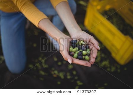 Mid section of woman holding olives while crouching at farm