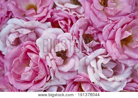 Natural roses background. Pink blossom flowers in the garden. Romantic