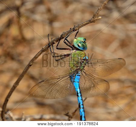 Fascinating blue dragonfly in foreground, Anax imperator