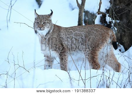 Euroasian lynx hunting mode in the bavarian national park in eastern germany, european wild cats, animals in european forests, lynx