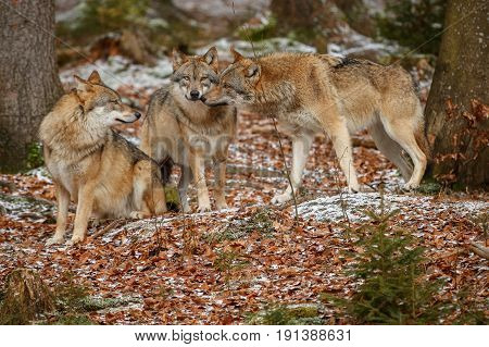 Eurasian wolves standing in nature habitat in bavarian forest, national park in eastern germany, european forest animals, canis lupus