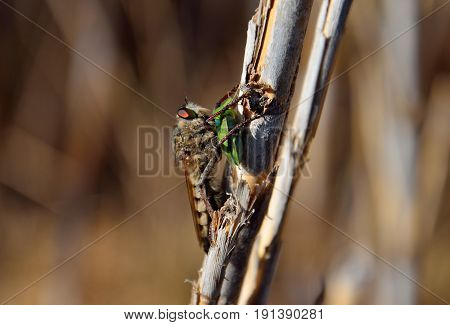 Robber fly on cane stalk with green bug under its stinger