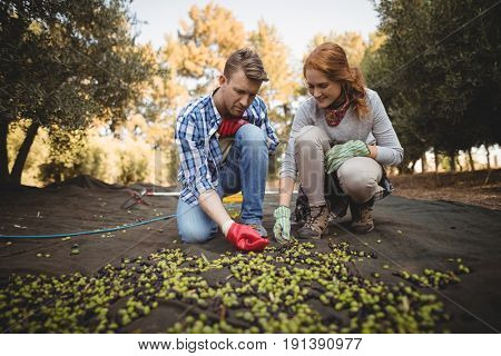 Young man and woman working at olive farm