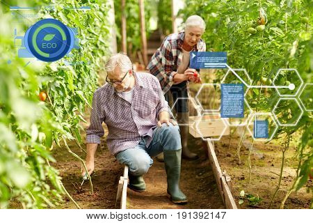 organic farming, agriculture and people concept - senior man with hoe weeding garden bed and woman harvesting crop of tomatoes at greenhouse on farm